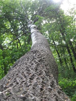 Nagy fába!