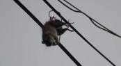 Hogy kerül a patkány a villanyvezetékre?