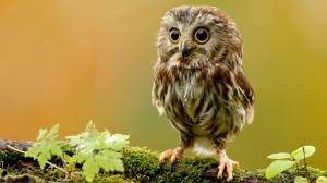 owl-wallpaper-10