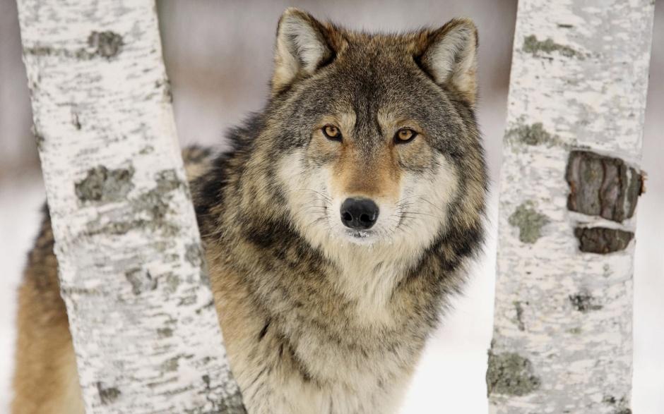 Csordában vadászik, de egyedül se veszélytelen - kép: Wiki