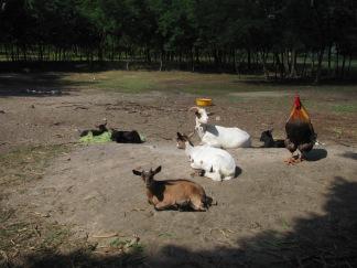 A kakas ellenőrzi a kecskéket